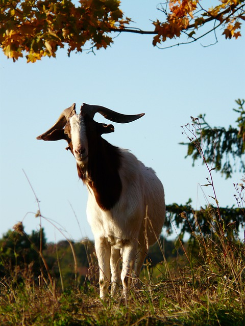 Goat, Billy Goat, Horns, Face, Portrait, Fur, Mammal