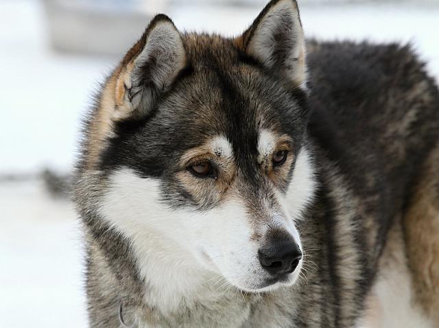 Husky, Dog, Face, Fur, Animal, Snow Dog, Huskies, Race