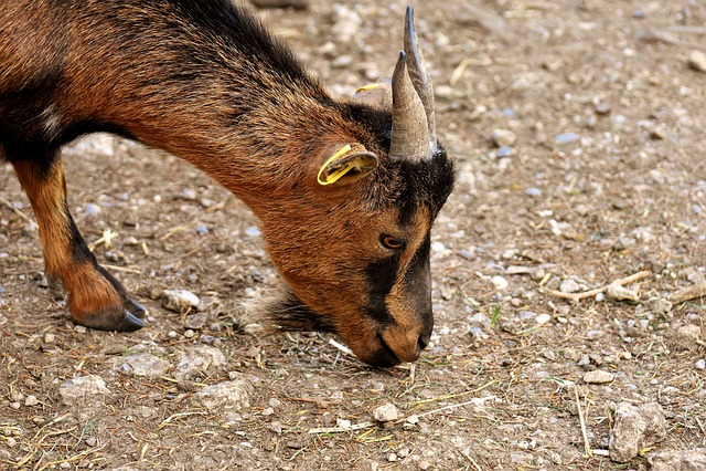 Goat, Animal, Horns, Wild Animal, Fur, Quadruped