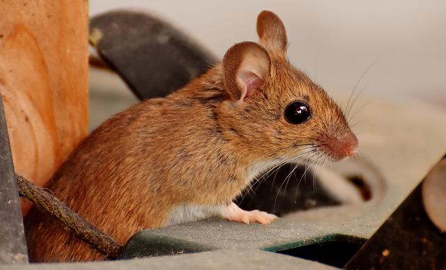Wood Mouse, Nager, Cute, Mouse, Rodent, Fur
