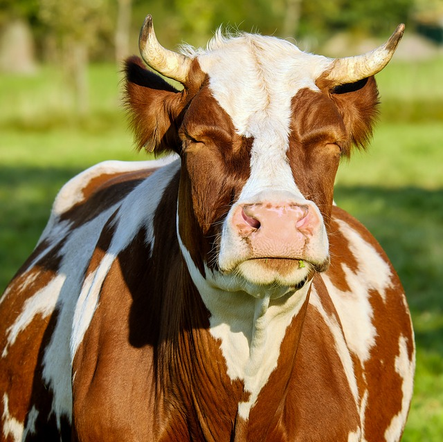 Cow, Brown White, Spotted, Fur, Shiny, Evening Sun