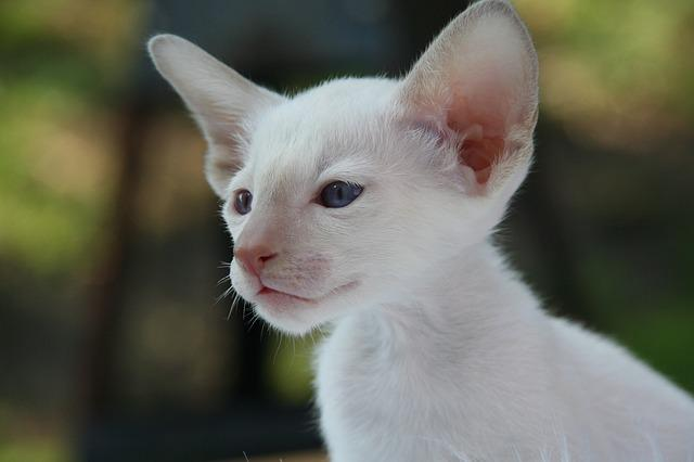 Siamese Cat, Cat, Kitten, Cat Baby, Fur, Charming