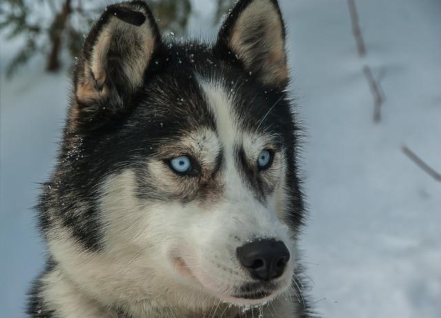 Dog, Husky, Sled Dog, Fur