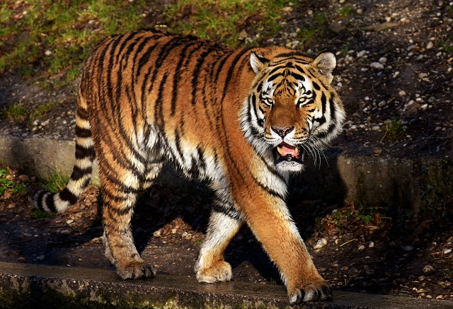 Tiger, Predator, Fur, Beautiful, Dangerous, Cat