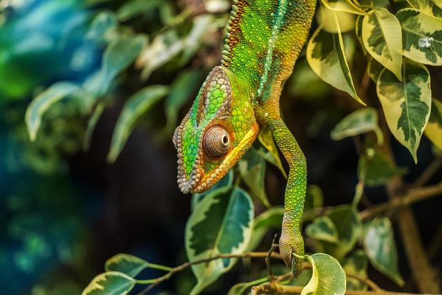 Chameleon, Párduckaméleon, Furcifer Pardalis, Reptile