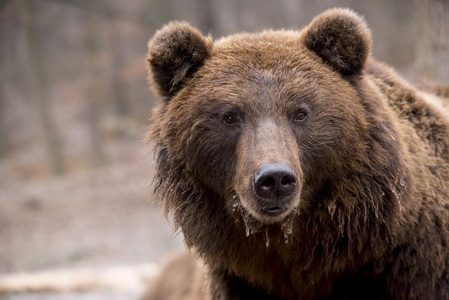 Bear, Brown Bear, Wildlife, Nature, Furry, Head