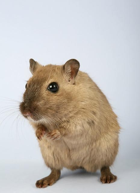 Animal, Creature, Critter, Domestic, Fur, Furry, Gerbil