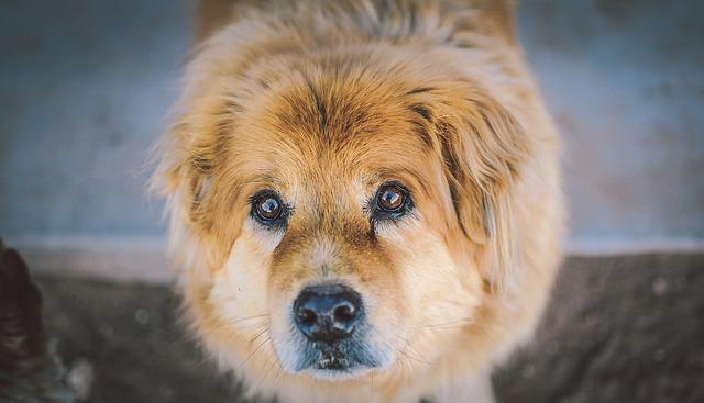 Animal, Dog, Cute, Closeup, Furry, Eyes, Puppy Dog Eyes