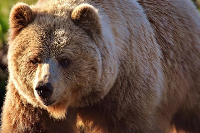 European Brown Bear, Wild Animal, Furry, Dangerous