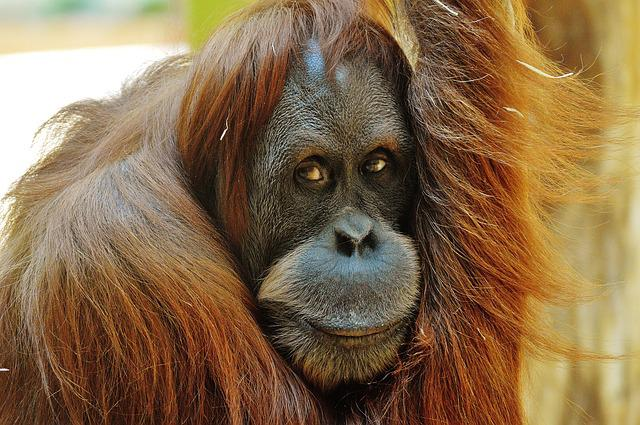 Orang Utan, Monkey, Cute, Funny, Zoo, Animal, Furry