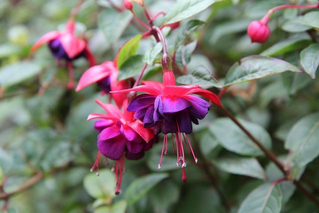 Fushia, Fushia Red, Flowering, Flowers