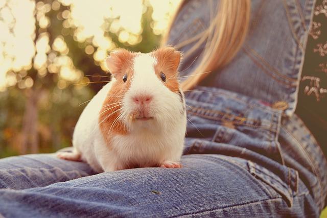 Guinea, Pig, Animal, Small, Fuzz, Adorable, Furry