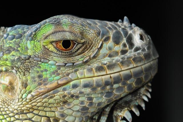 The Lizard, Iguana, Gad, Dragon, Animal Portrait, Eye