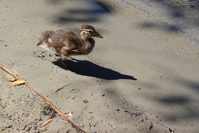 Gadwall, Chicken, Duck, Water Bird, Feather, Plumage