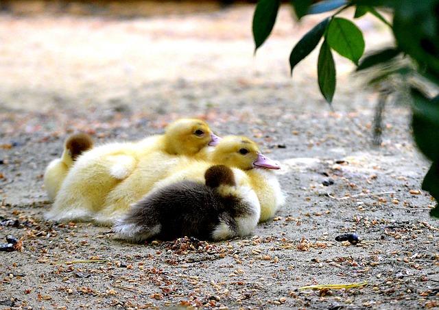 Ducks, Chicken, Water Bird, Nature, Gadwall, Plumage