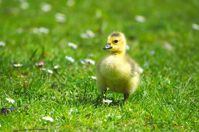 Goose, Gaensekuecken, Animals, Bird, Fluffy, Chicks