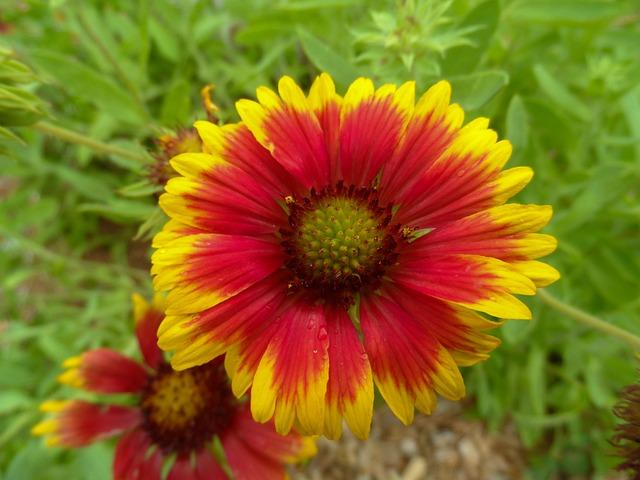Wildflower, Blanket Flower, Gaillardias, Gaillardia