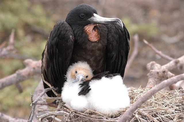 Bird, Galapagos, Fregate, Nest