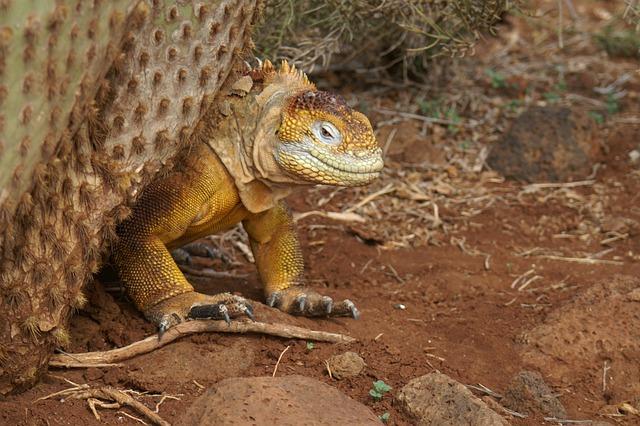 Iguana, Cactus, Galapagos, Ecuador, Travel, Nature