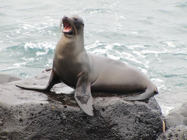 Sea Lion, Galapagos, Galapagos Sea Lion