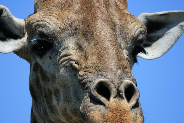 Giraffe, Animal, Game, Head, Face, Detail, Close