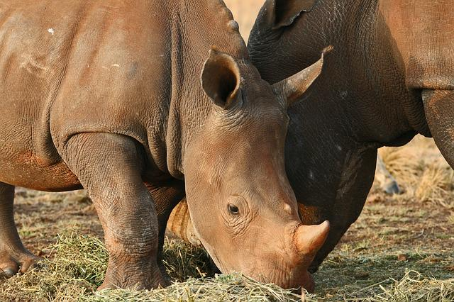 Rhinoceros Pair, Game, Animals, Rhinoceros, Wildlife