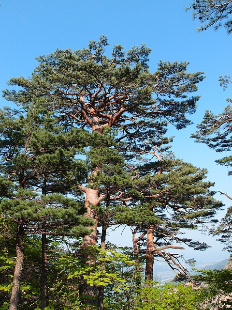 Gangwon Do, Sokcho, Mt Seoraksan, Pine