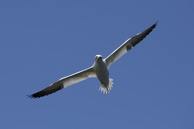 Bird, Gannet, Nature