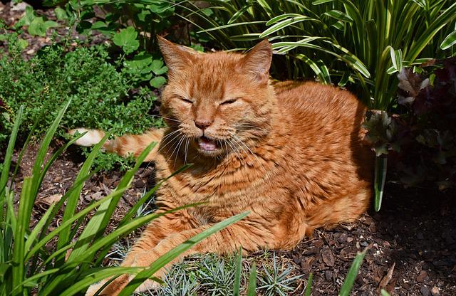 Garden Cat, About To Yawn, Cat, Feline, Animal, Garden