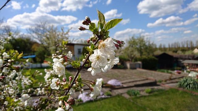 Allotment, Garden, Nature, Blossom, Bloom, Sour Cherry
