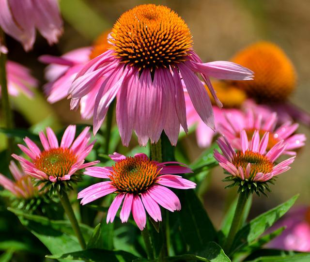 Cone Flowers, Purple, Floral, Garden, Landscape, Beauty
