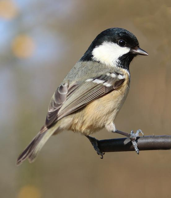 Coal Tit, Garden Bird, Garden, Tit, Bird, Coal, Nature