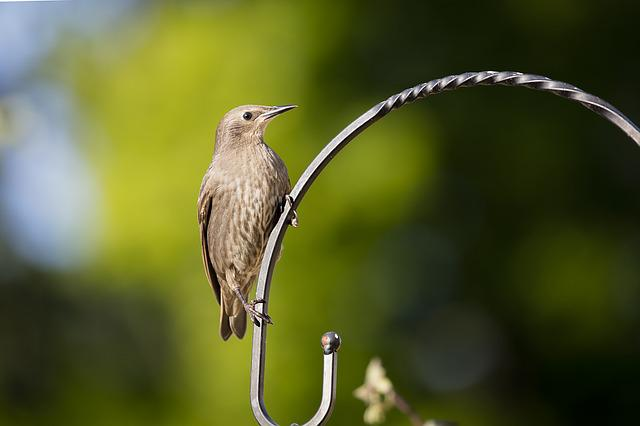 Starling, Bird, Garden, Bird Watching, Ornithology