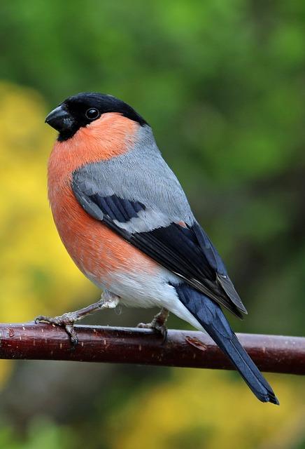Bullfinch, Bull Finch, Bird, Colourful, Garden Bird