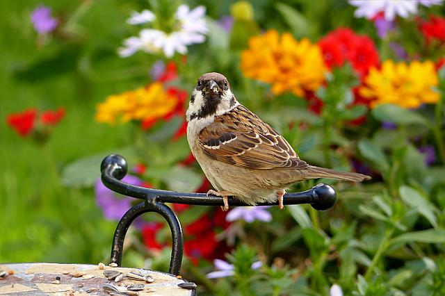 Sparrow, Passer Domesticus, Bird, Foraging, Garden