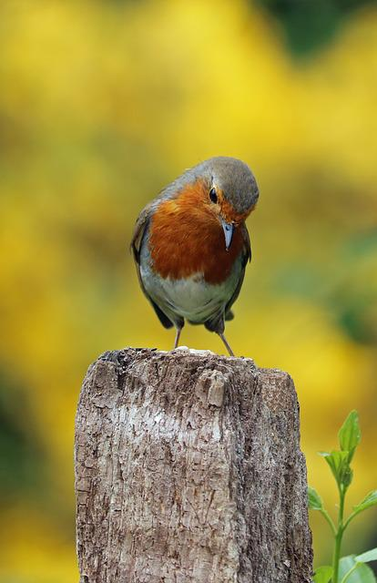 Robin, Perched, Bird, Song Bird, Garden Bird, Red