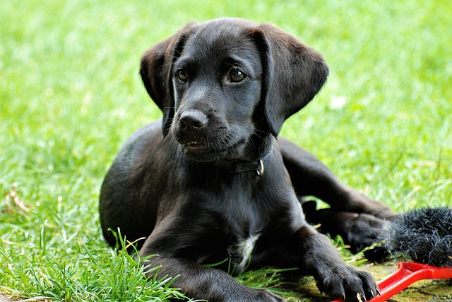 Labrador, Puppy, Black, Concerns, Pet, Garden