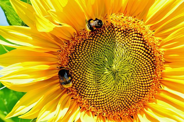 Sun Flower, Bumblebees, Summer, Garden, Blossom, Bloom