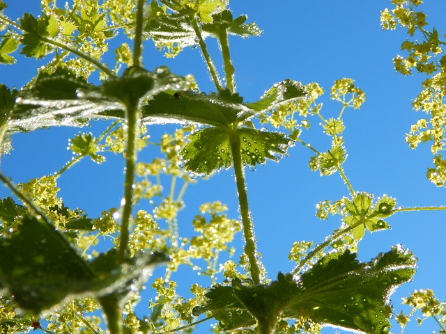 Blossom, Bloom, Frauenmantel, Plant, Nature, Garden