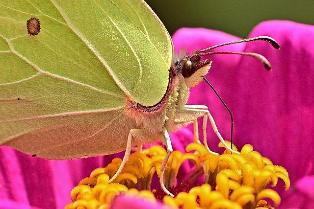 Gonepteryx Rhamni, Macro, Blossom, Bloom, Garden