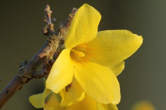 Forsythia, Spring, Blossom, Bloom, Nature, Garden