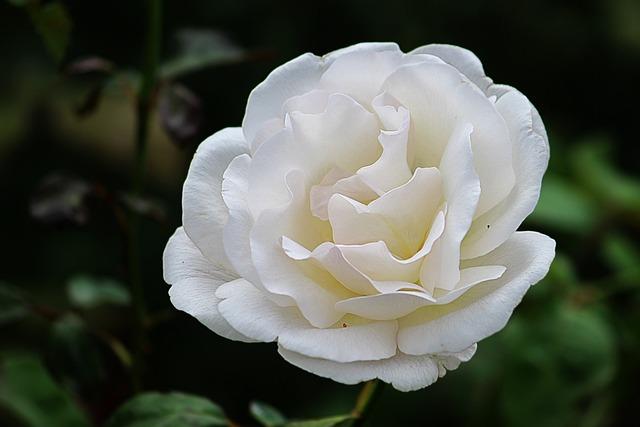 Rose, White, Blossom, Bloom, Floribunda, Garden, Summer