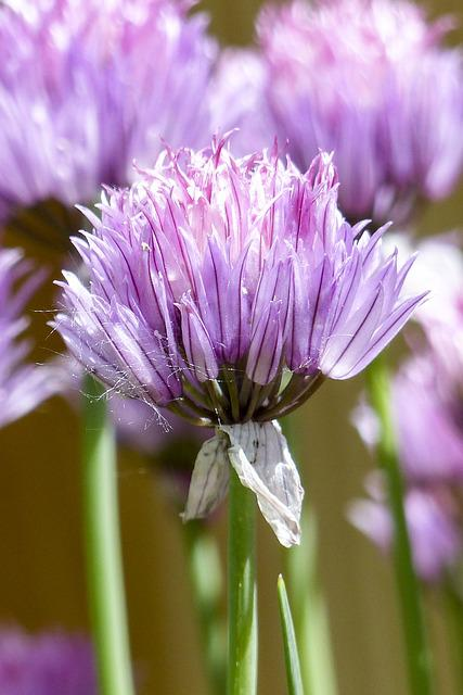 Blooming, Chives, Plant, Nature, Garden, Herb, Onion