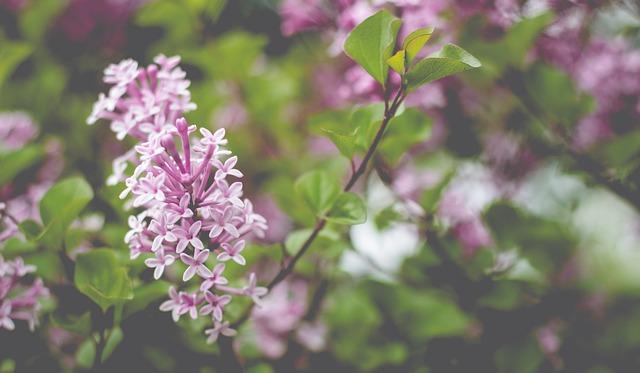Lilac, Blossom, Bloom, Lilac Branch, Garden, Spring