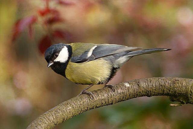Tit, Parus Major, Bird, Garden, Foraging, Branch