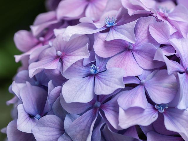 Flowers, Hydrangea, Lavender, Plant, Garden, Close Up