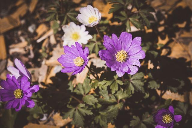 Anemone, Garden, Flower, Purple, Violet, White, Close