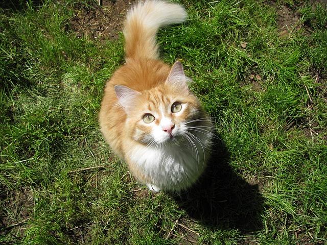 Cat, Red, Pet, Maine, Coon, Garden, Green, Red Cat