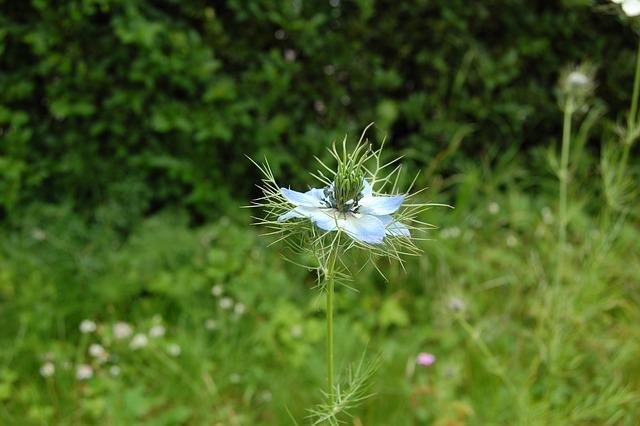 Flower, Blue, Nigella, Garden, Country, Wild, Spring