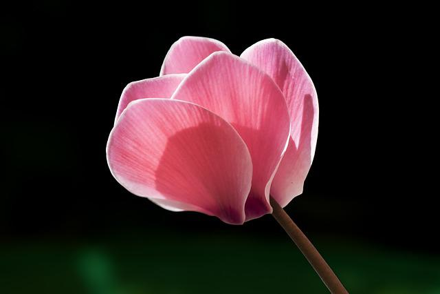 Cyclamen, Flower, Rosa, Garden, Winter, Nature, Pink